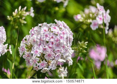 White garden phlox (Phlox paniculata) in full bloom