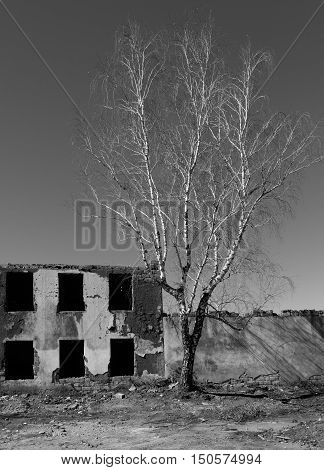 White Birch Abandoned Dilapidated Building. Black And White Image