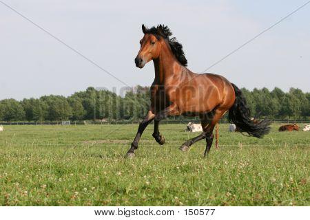 Maronen Pferd