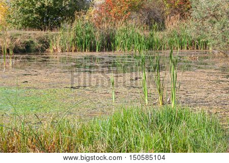 natural scene on the swamp with green reed