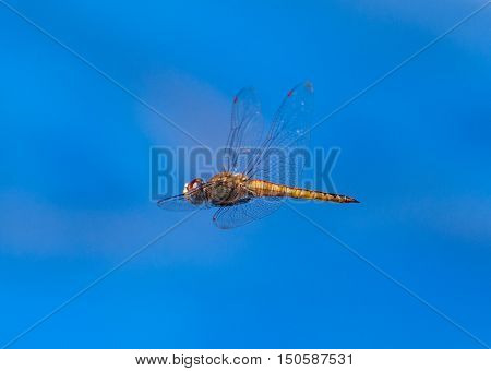 Dragonfly flying on a blue sky background. Insect also known as Libelula in Brazil
