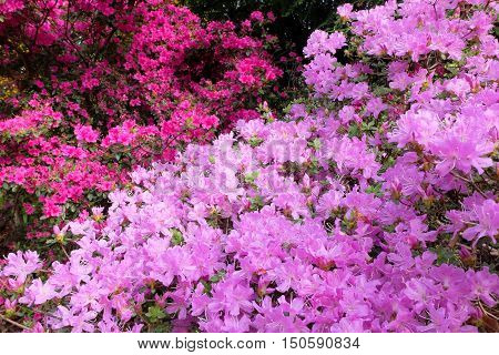 Colorful Display of Pink and Red Rhododendrons.  Christchurch Botanic Gardens, Canterbury, New Zealand.