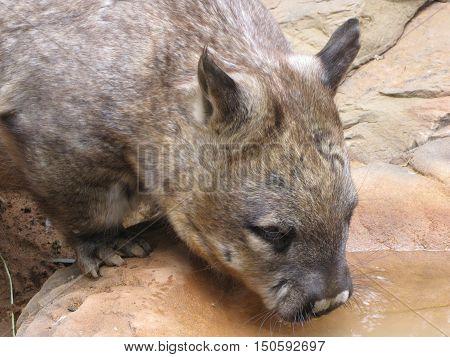 An Australian wombat drinks from a watering hole.