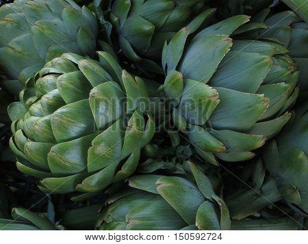 Super large fresh picked bright green artichokes