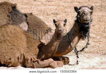 Wildlife Photos - Arabian Camel