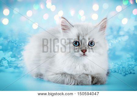 Cute neva masquerade kitten on blue background.