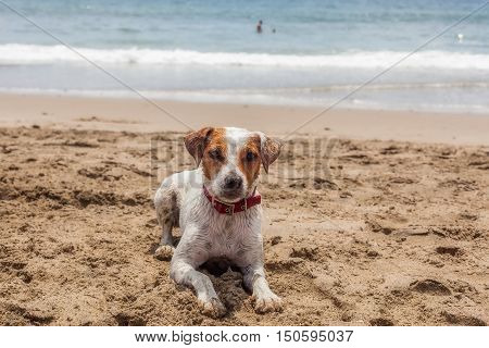 Jack Russell Terrier Female Dog Resting On The Beach In Galapagos Island Ecuador South America