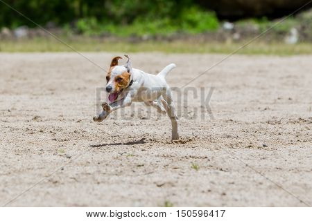 Jack Russell Terrier Female Dog Running Toward The Camera With Full Speed