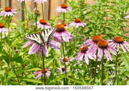 Yellow Swallowtail Butterfly on Purple Coneflowers in Garden