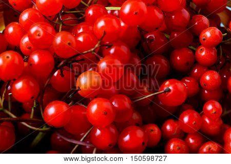Red viburnum berries selective focus. Ripe red forest berries top view. Fall seasonal berry.
