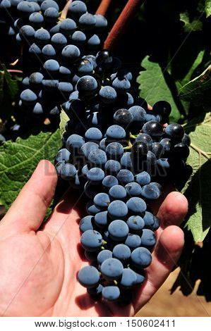 Red grapes grows in a wine vineyard.