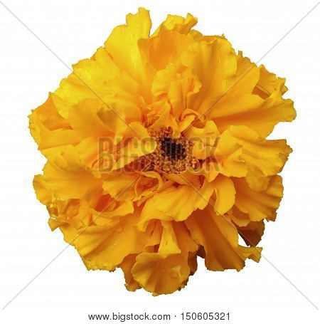 Flower yellow with dew white isolated background with clipping path. no shadows. Closeup with no shadows. Nature.