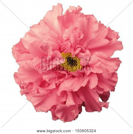 Flower pink with dew white isolated background with clipping path. no shadows. Closeup with no shadows. Nature.