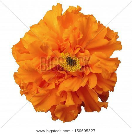 Flower orange with dew white isolated background with clipping path. no shadows. Closeup with no shadows. Nature.