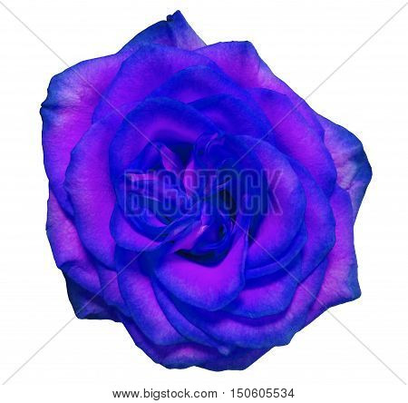blue rose flower white isolated background with clipping path. Nature. Closeup no shadows.