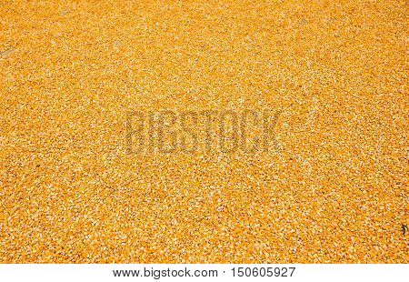 Corn with kernels, dried corn after harvest