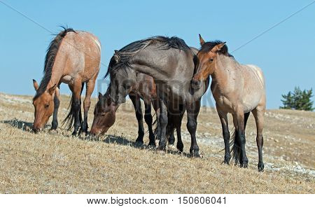 Band of Wild Horses on Sykes Ridge in the Pryor Mountains Wild Horse Range in Montana - Wyoming US of A