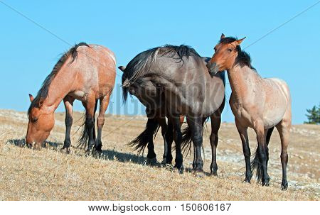 Band of Wild Horses on Sykes Ridge in the Pryor Mountains Wild Horse Range in Montana - Wyoming USA