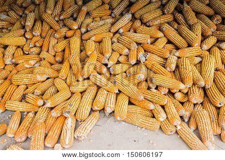 Corn on cob, pile of corn, ripe corn, dried corn