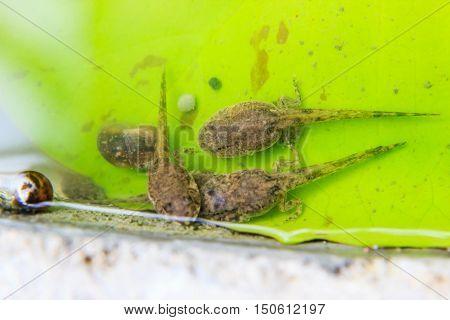 close up of tadpoles on Lotus leaf