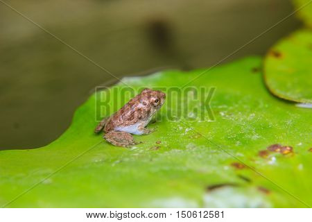 tadpoles or Baby frogs on a leaf