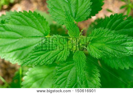 Green stinging nettle a top view of