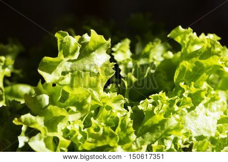 green salad in a garden. Leaves of green lettuce in the garden. Fresh salad background at garden