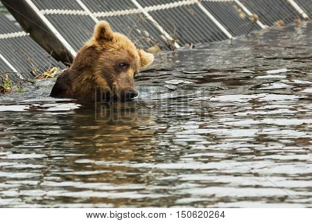 Brown bear waiting for prey in the Kurile Lake. Southern Kamchatka Wildlife Refuge.
