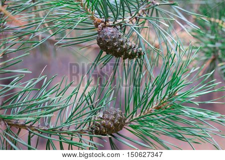 Close-up Of Two Pinecones On Branch In Coniferous Forest