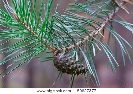 Close-up Of Pinecone On Pine Tree Branch