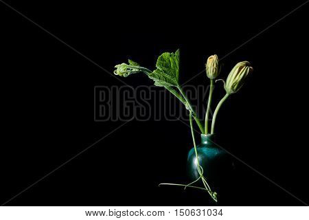 Shooting Leaves And Yellow Pumpkin Flower On Black Background.