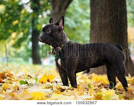 Black dog in a park amongst autumn leaves