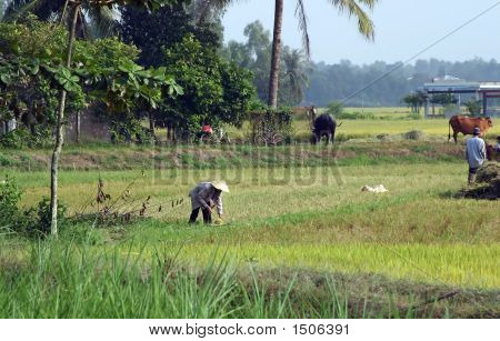 Paddy Worker