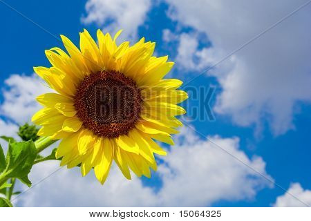 Sunflower at sky