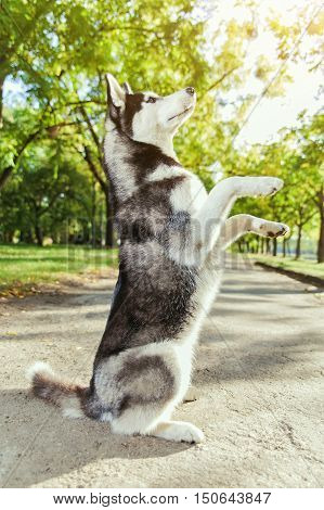 The gray husky dog standing on two legs. Playing in the park, autumn landscape, warm weather.