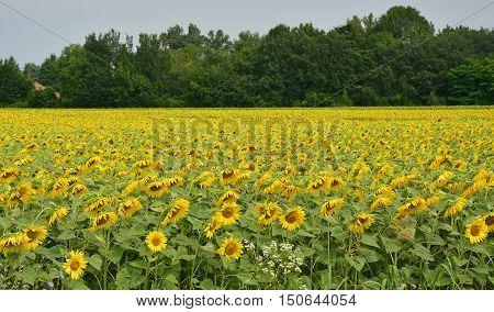 A field of sunflowers in the north east Italian region of Friuli Venezia Giulia.