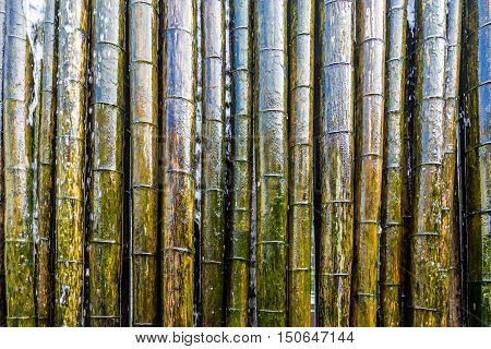 A Colorful Green and Wet Bamboo wall