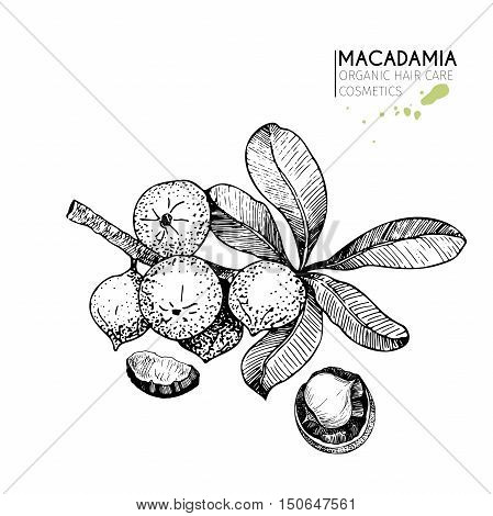 Vector set of hair care ingredients. Organic hand drawn elements. Macadamia branch and nuts. Use for cosmetic package shop store products spa salon wellnes program procedure skin hair care.
