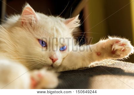 white Persian cat lying on the couch