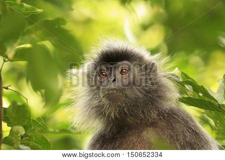 Monkey in forest. Silvery leaf Langur Monkey. Silverleaf Lutung monkey