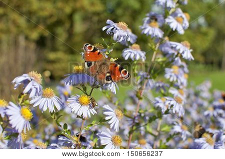 European Peacock (Aglais io) and a honeybee sitting on chamomile bloom.