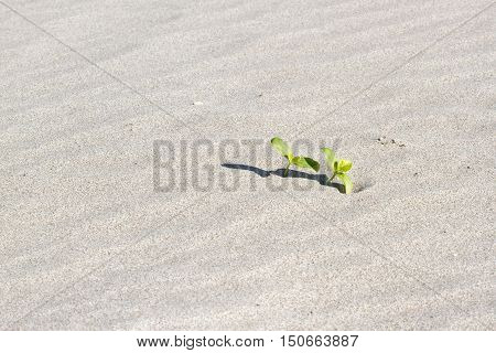Double plant sprouting in the desert Sahara. Seedling sand background