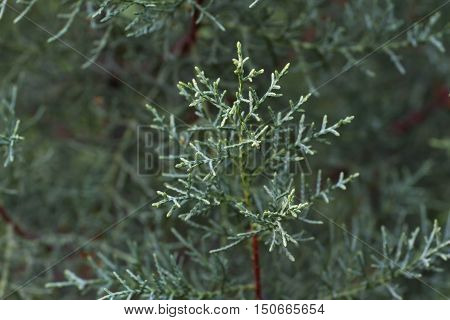 Macro photography of the branch of Cupressus arizonica. Conifer needles