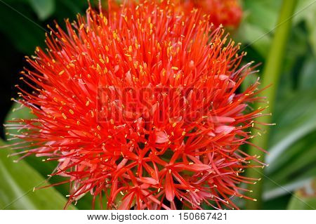 Detail of the bloom of blood lily