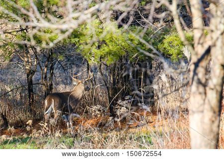 Big White-tail Buck walking through the woods during the Wisconsin deer hunting season.
