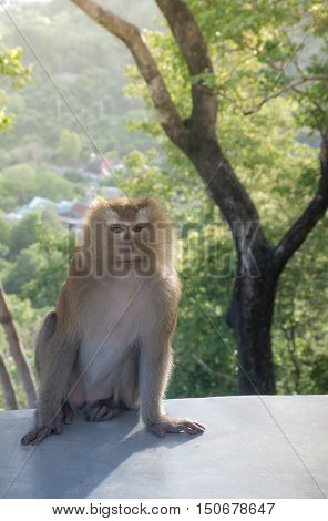 Monkey sit on the cement floor with funny face.It's live in forest at Khao Rang Hill PhuketThailand(popularity viewpoint in Phuket) with blurred forest background and sun light behind(AF focused)