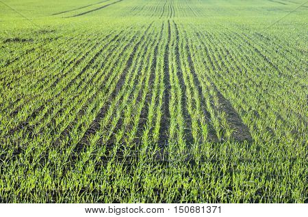 Agricultural field with rows of fresh green lush grass and black soil in front of the sun in perspective.