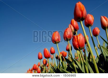 Tulip Fields