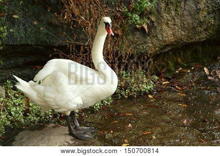 Beautiful white swan near the lake, close up