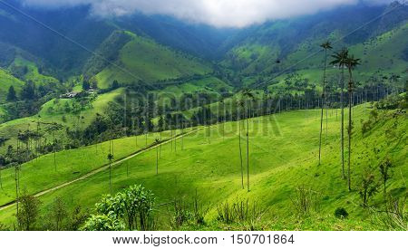 Beautiful green valley and wax palm trees in Cocora Valley near Salento Colombia
